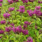 Monarda 'Lederstrumpf' - Bergamotplant - Monarda 'Lederstrumpf'
