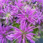 Bergamotplant - Monarda 'Prairienacht'