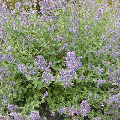 Nepeta faassenii 'Six Hill's Gold' -