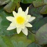 Nymphaea 'Marliacea Chromatella'  - Waterlelie - Nymphaea 'Marliacea Chromatella'