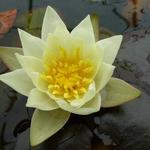 Nymphaea 'Pygmaea Helvola' - Waterlelie, dwergwaterlelie - Nymphaea 'Pygmaea Helvola'
