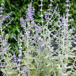 Perovskia atriplicifolia 'Silvery Blue' - Russische salie - Perovskia atriplicifolia 'Silvery Blue'