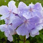 Phlox paniculata 'Franz Schubert' - Vlambloem / Flox - Phlox paniculata 'Franz Schubert'