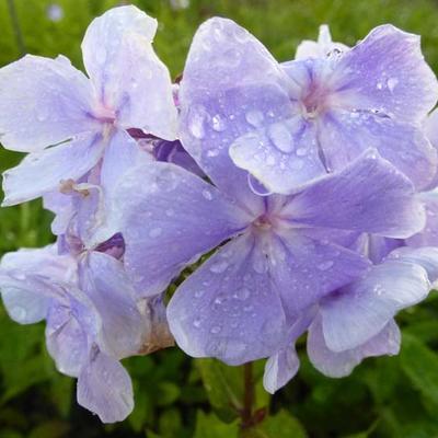 Phlox paniculata 'Franz Schubert' -