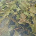 Potamogeton lucens - Glanzend fonteinkruid - Potamogeton lucens
