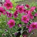 Primula pulverulenta  - Sleutelbloem - Primula pulverulenta