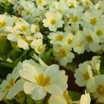 Sleutelbloem, Stengelloze sleutelbloem - Primula vulgaris