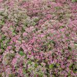 Vetkruid, muurpeper - Hylotelephium 'Ruby Glow'