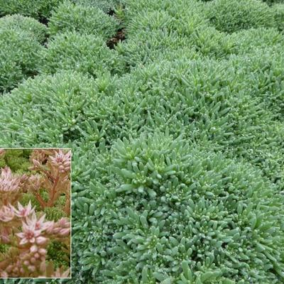 Sedum hispanicum - Spaanse muurpeper - Sedum hispanicum