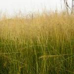 Prairiedropzaad - Sporobolus airoides 'Delicatesse'