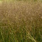 Prairiedropzaad - Sporobolus heterolepis 'Cloud'