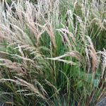 Stipa calamagrostis - Stipa calamagrostis - Diamantgras