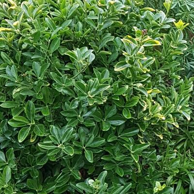 Euonymus japonicus 'Aureomarginatus'  -