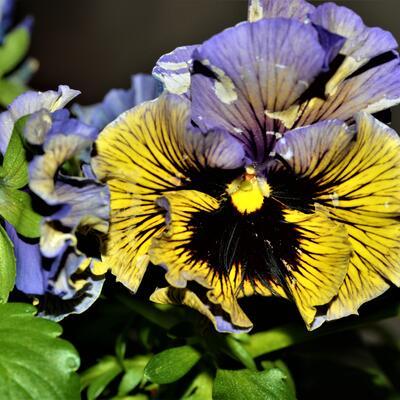 Viola x wittrockiana 'Frizzle Sizzle -