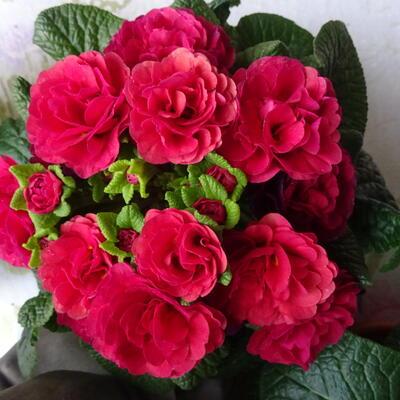 Primula vulgaris BELARINA 'Carmen' -