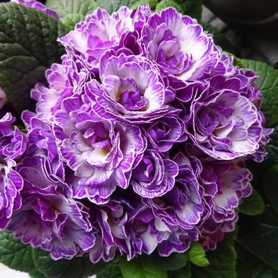 Primula vulgaris BELARINA 'Lively Lilac' -