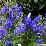 Aconitum fischeri -