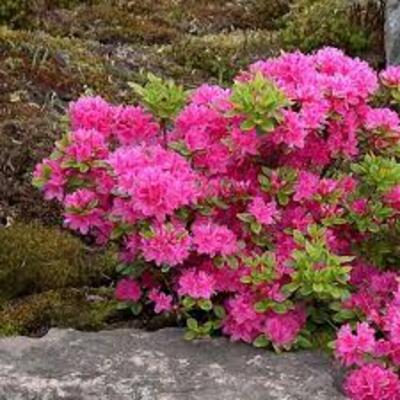 Rhododendron 'Maruschka' -
