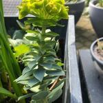 Euphorbia rigida - Wolfsmelk - Euphorbia rigida