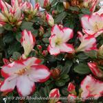 Rhododendron simsii 'Sachsenstern' -