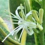 Sansevieria trifasciata var. laurentii -