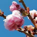 Prunus serrulata 'Kiku-shidare-zakura' - Prunus serrulata 'Kiku-shidare-zakura' - Japanse sierkers