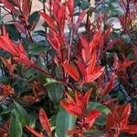 Photinia  fraseri 'Little Red Robin' - Photinia  fraseri 'Little Red Robin' - Glansmispel, Oranjebloesem