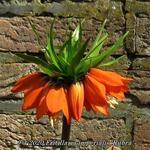 Fritillaria imperialis 'Rubra'  - Fritillaria imperialis 'Rubra'  - Keizerskroon