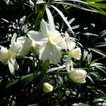Narcissus 'Grand Primo Citroniere' -