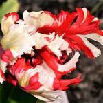 Tulipa 'Estella Rijnveld' -
