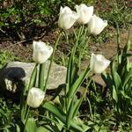 Tulipa 'Clearwater' -