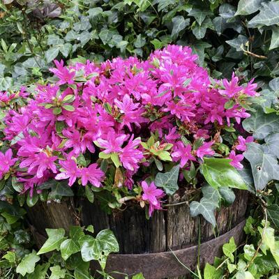Rhododendron 'Hatsugiri' -