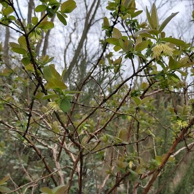Lonicera caerulea var. kamtschatica 'Wojtek' -