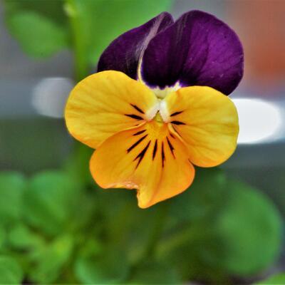Viola cornuta 'Sorbet Orange Duet' -