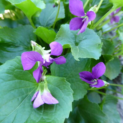 Viola sororia 'Rubra' -
