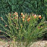 Cytisus scoparius 'Palette' - Brem - Cytisus scoparius 'Palette'