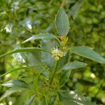 Ilex aquifolium 'Myrtifolia' - Ananashulst - Ilex aquifolium 'Myrtifolia'