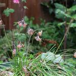 Tulbaghia montana - Tulbaghia montana - Wilde knoflook
