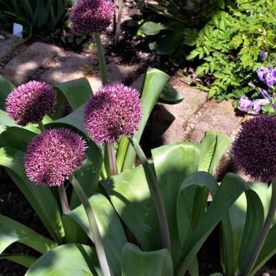 Allium 'Ostara' -