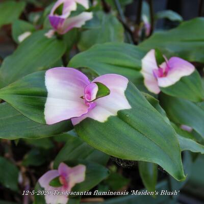 Tradescantia fluminensis 'Maiden's Blush' -