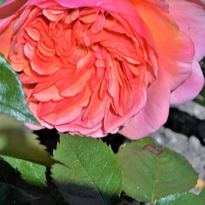 Rosa 'Orange MEILOVE' -