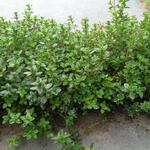 Kruiptijm - Thymus praecox 'Pseudolanuginosus'