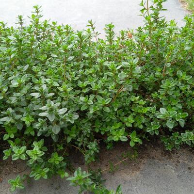 Thymus praecox 'Pseudolanuginosus' -