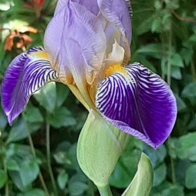 Iris germanica 'Alcazar' -