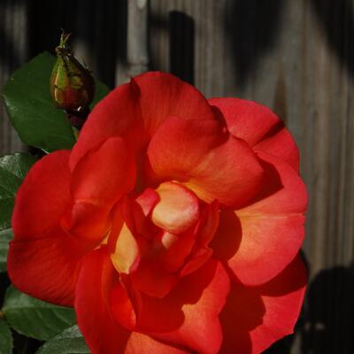 Rosa 'Arielle Dombasle' -