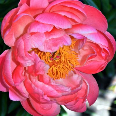Paeonia 'Coral Sunset'  - Pioen - Paeonia 'Coral Sunset'