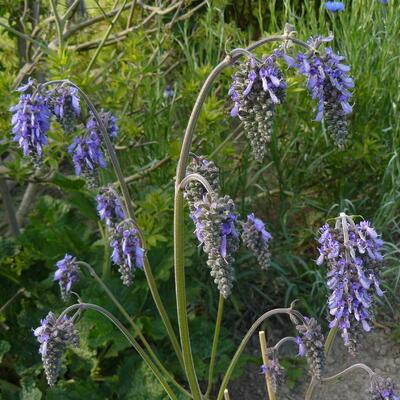 Salvia nutans -