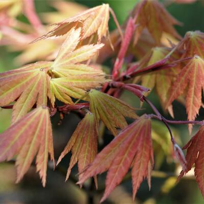 Acer shirasawanum 'Autumn Moon' -
