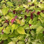 Leycesteria formosa 'Golden Lanterns' - Fazantenbes, Karamelbes, Grootmoeders oorbel - Leycesteria formosa 'Golden Lanterns'
