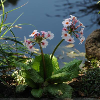 Primula japonica 'Apple Blossom' -